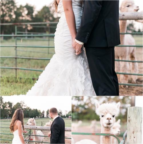 alpacas-in-wedding-photos-maryland